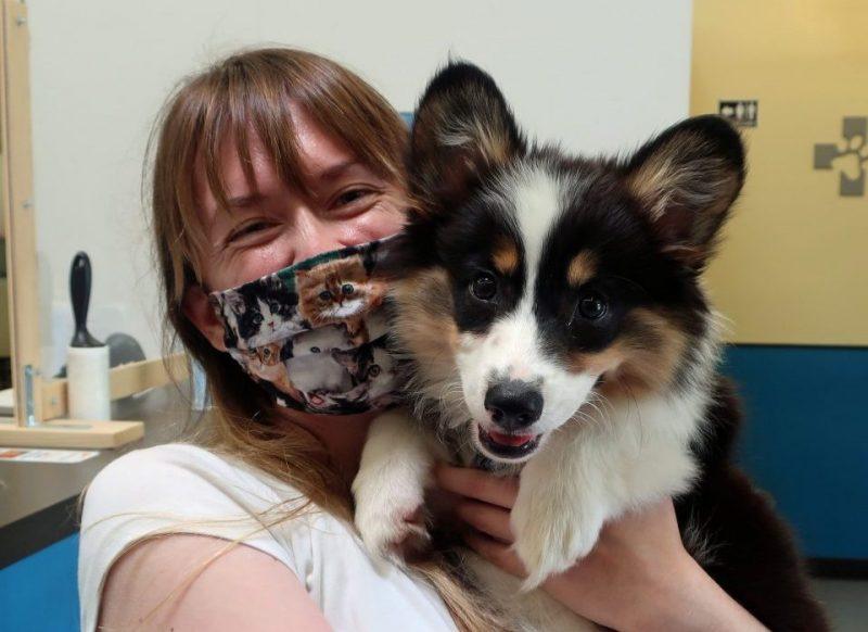Woman holding black and white Corgi puppy