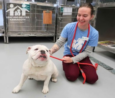 A vet tech holds the lead for a white bulldog