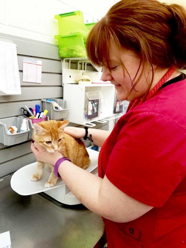 Amanda weighs an orange tabby kitten