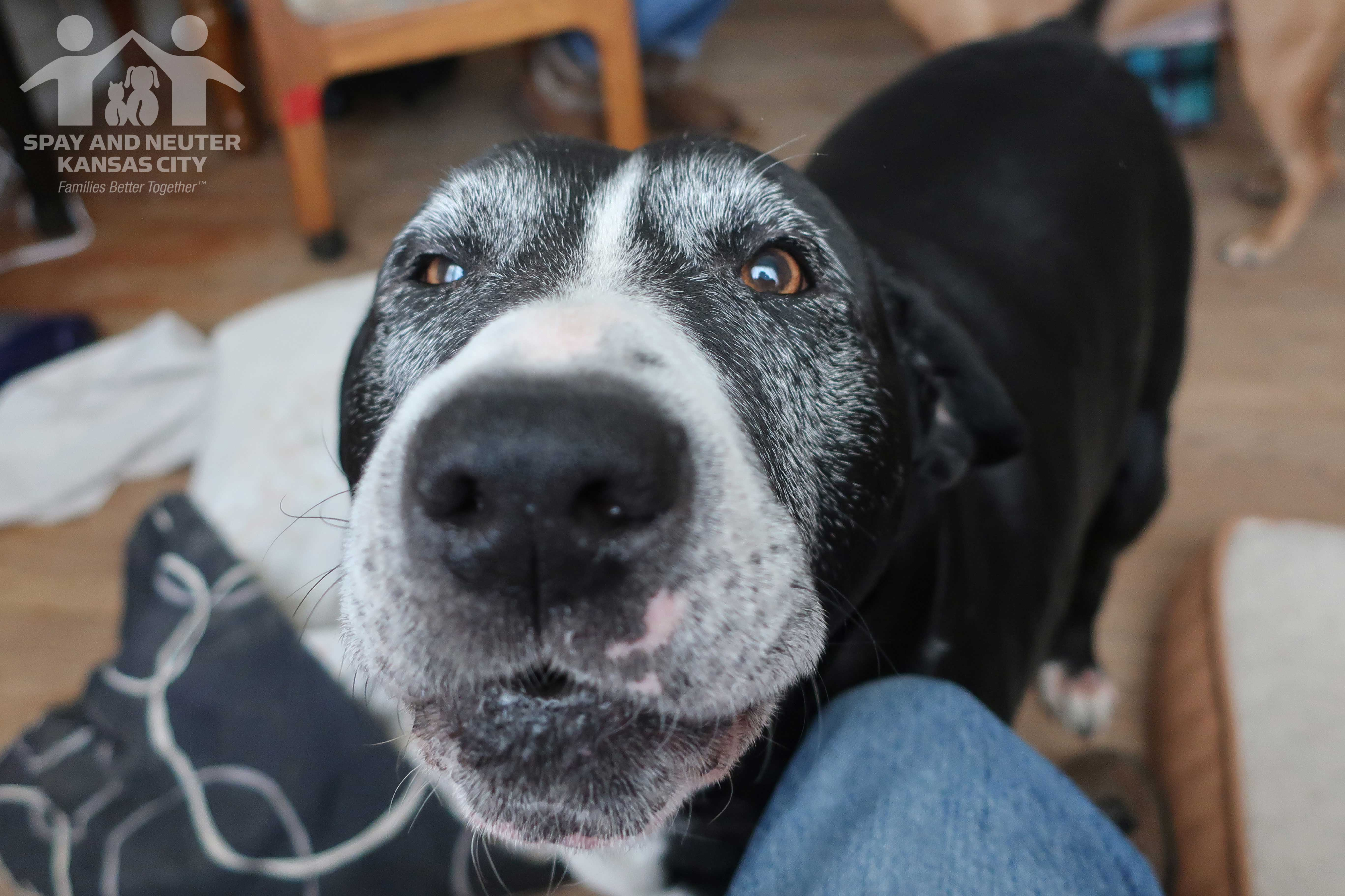 A black and white dog named Booter gets close to the camera