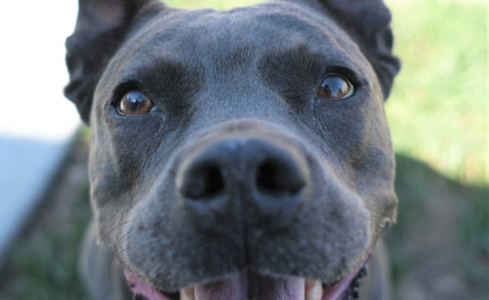 Pitbulls like Blue bring so much happiness to their families.