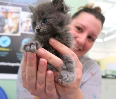 A woman holds a small, grey kitten in her hands