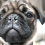 a pug looks into the camera