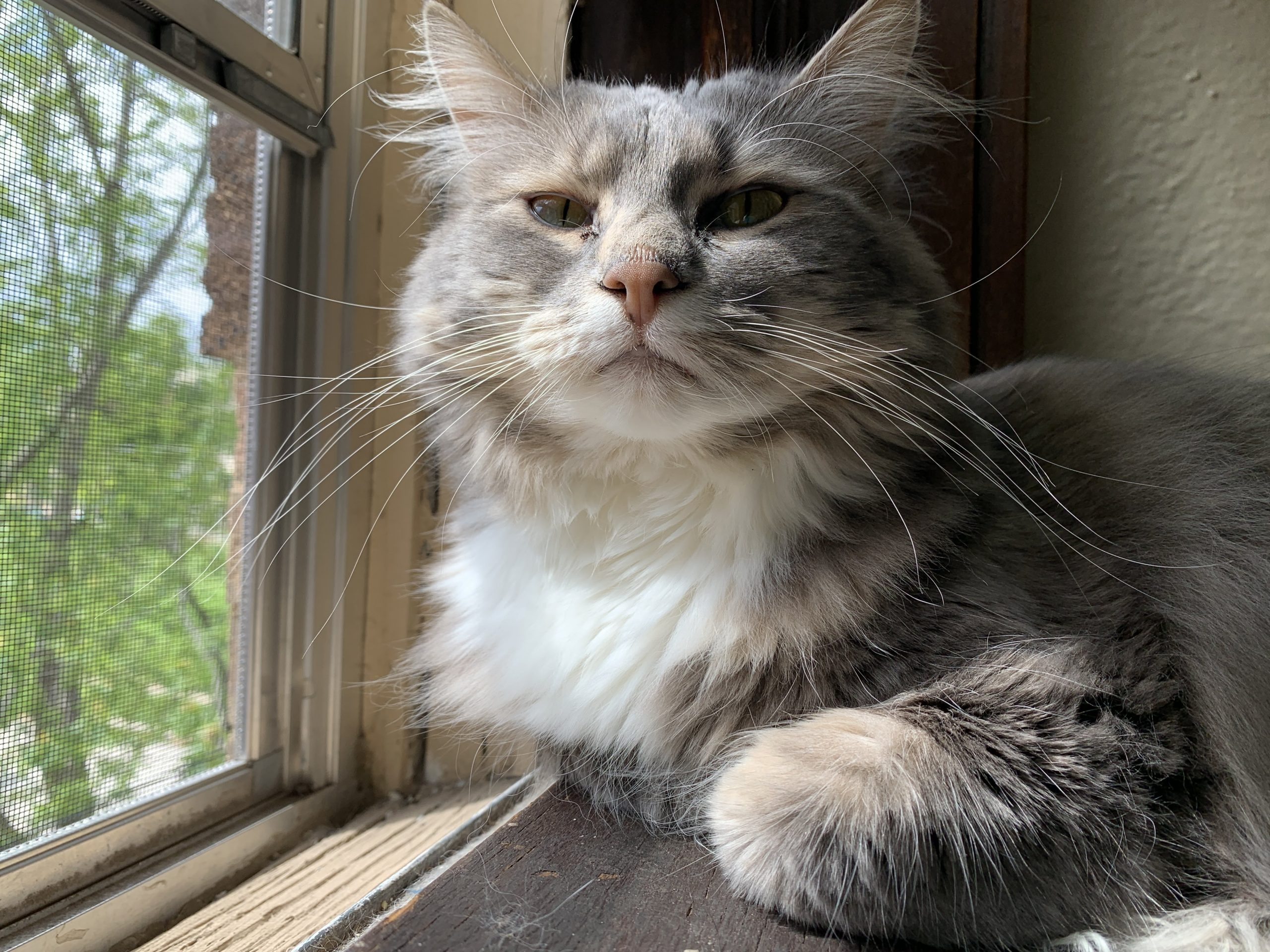 a gray and white cat looks into the camera