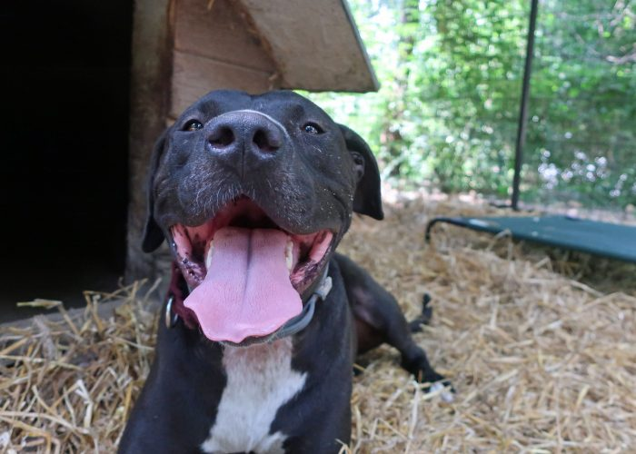 Black dog with tongue out smiling directly into camera
