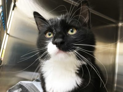 A black-and-white tuxedo cat with big whiskers looks past the camera