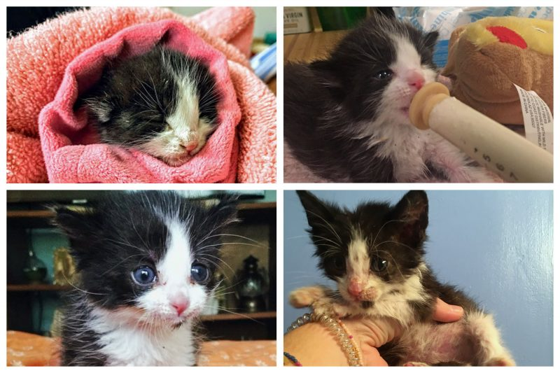 baby kitten collage and getting tube fed