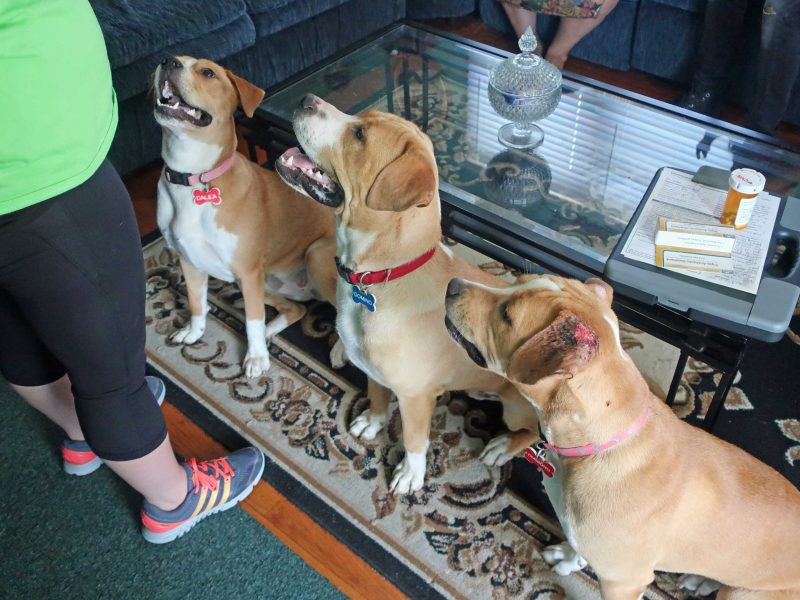 Three dogs stand in a row, waiting for treats.