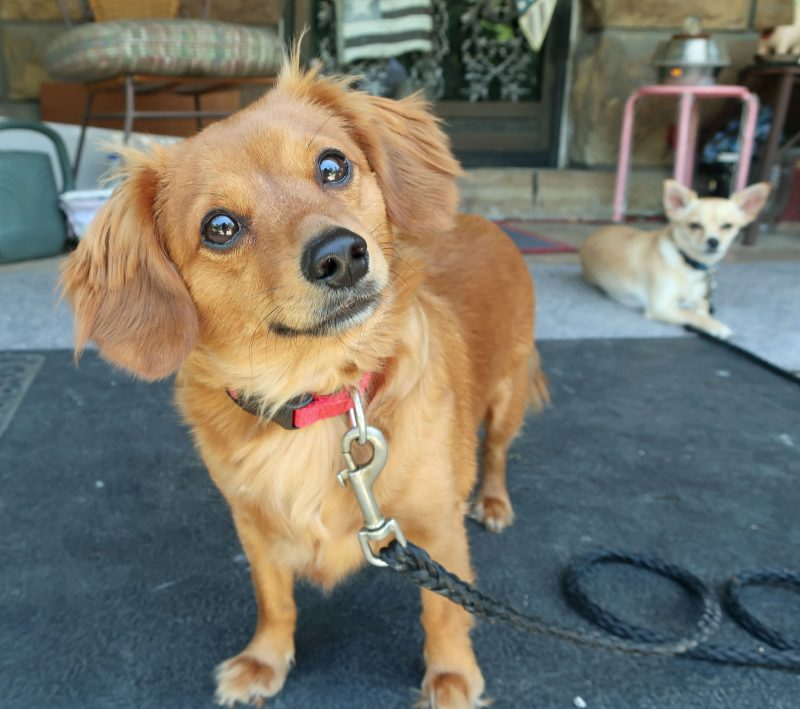 a dog looks at the camera with his head tilted while another dog lays in the background