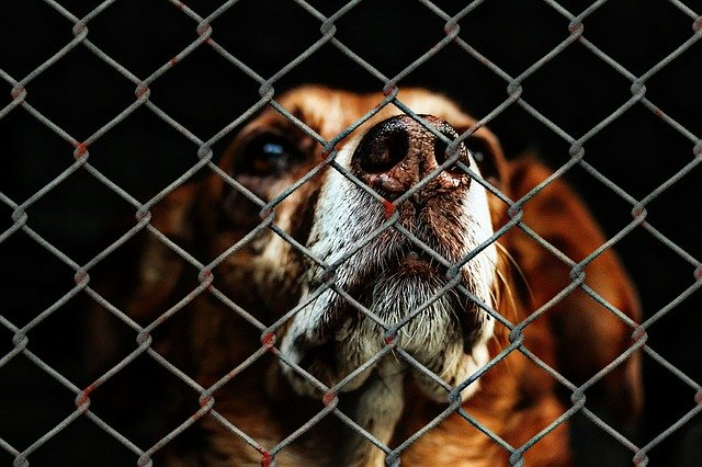 a dog looks sadly through a fence