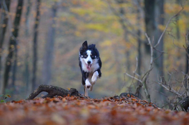 a black and white dog runs toward the camera