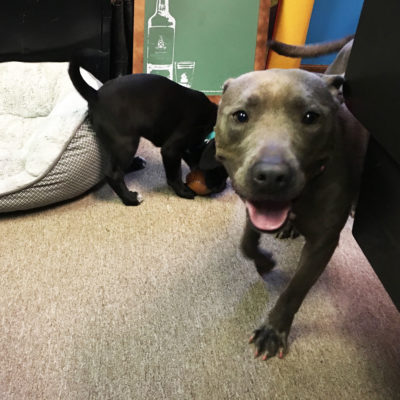 A grey dog looks at the camera while a black puppy plays in the background