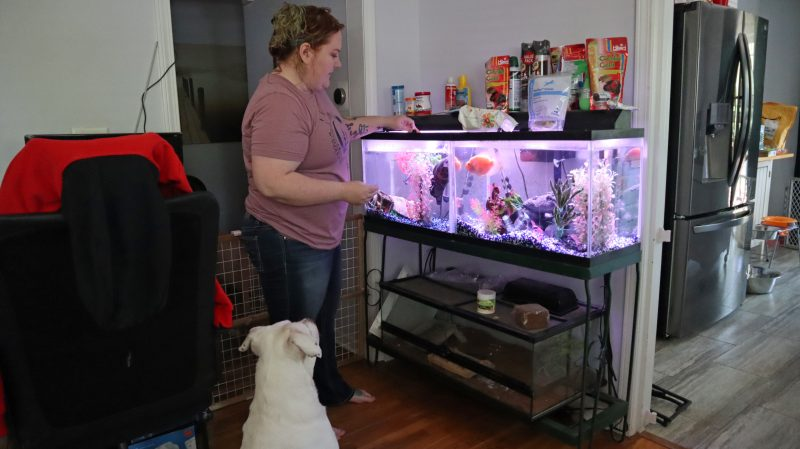 white pit bull watching owner feed pet fish