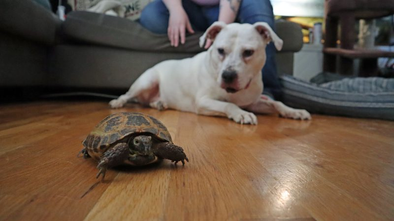 white pit bull and tortoise