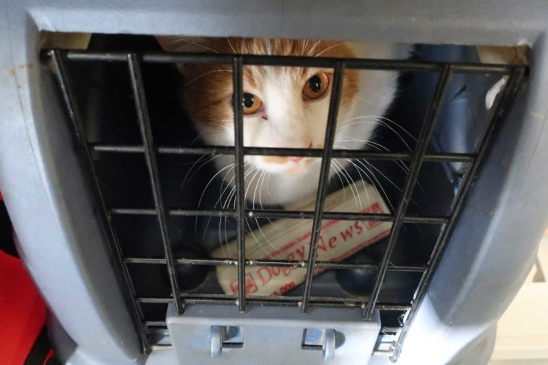 A cat in a carrier looks at the camera.