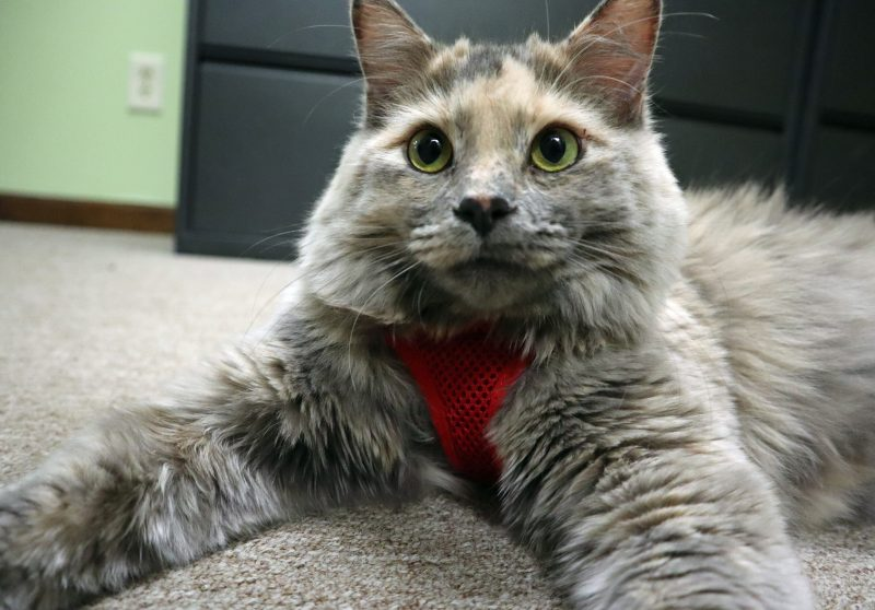 dilute calico in red cat harness