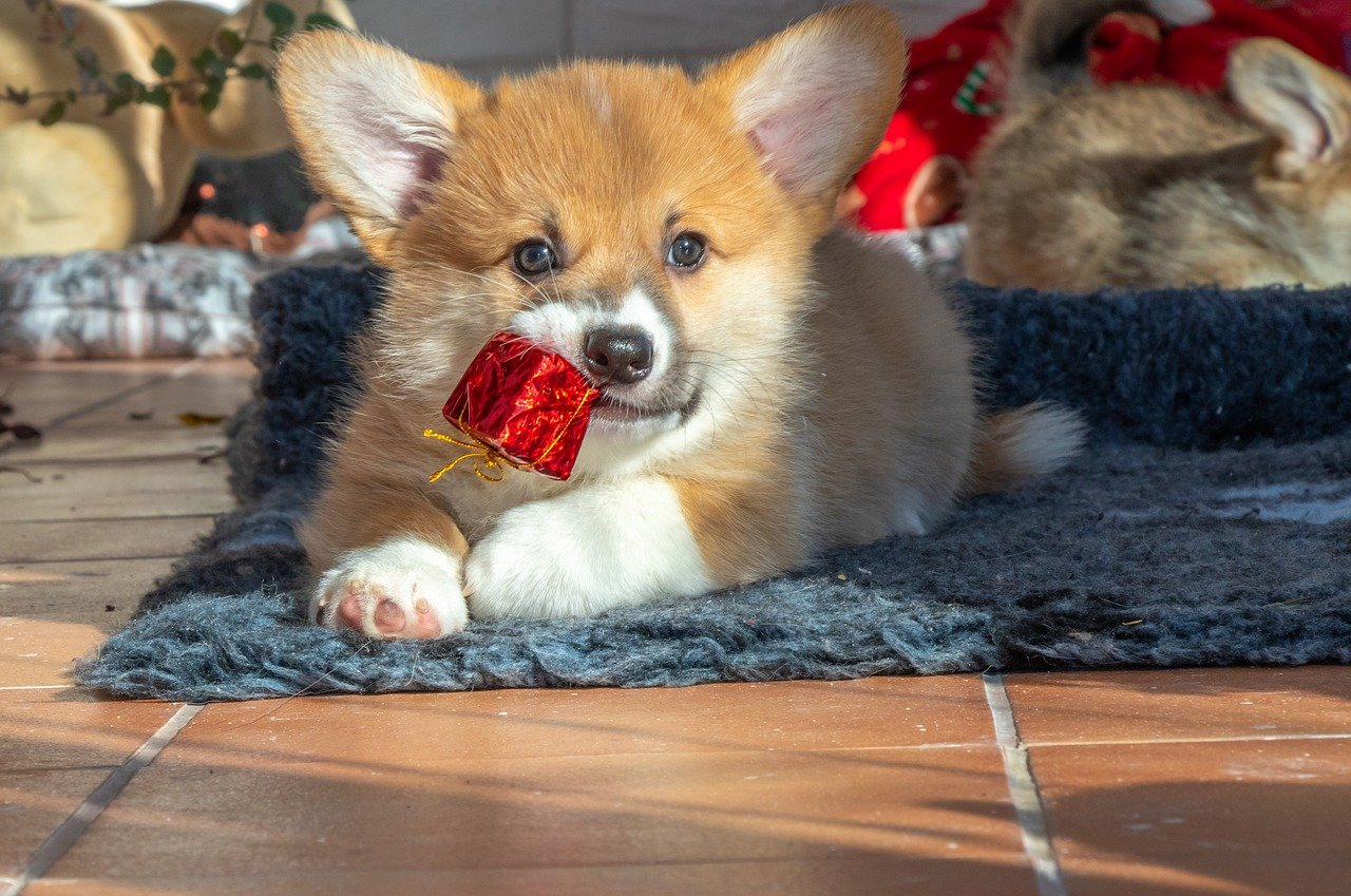 A corgi lays on the ground chewing on a tiny present