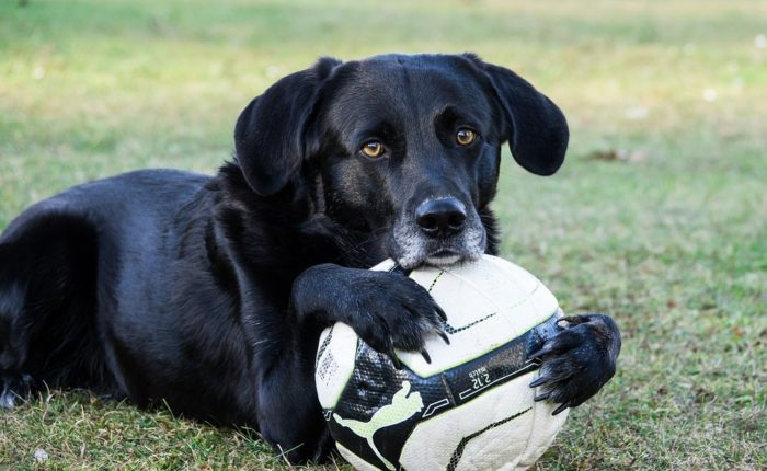a dog lays on the grass with his front paws around a soccer ball
