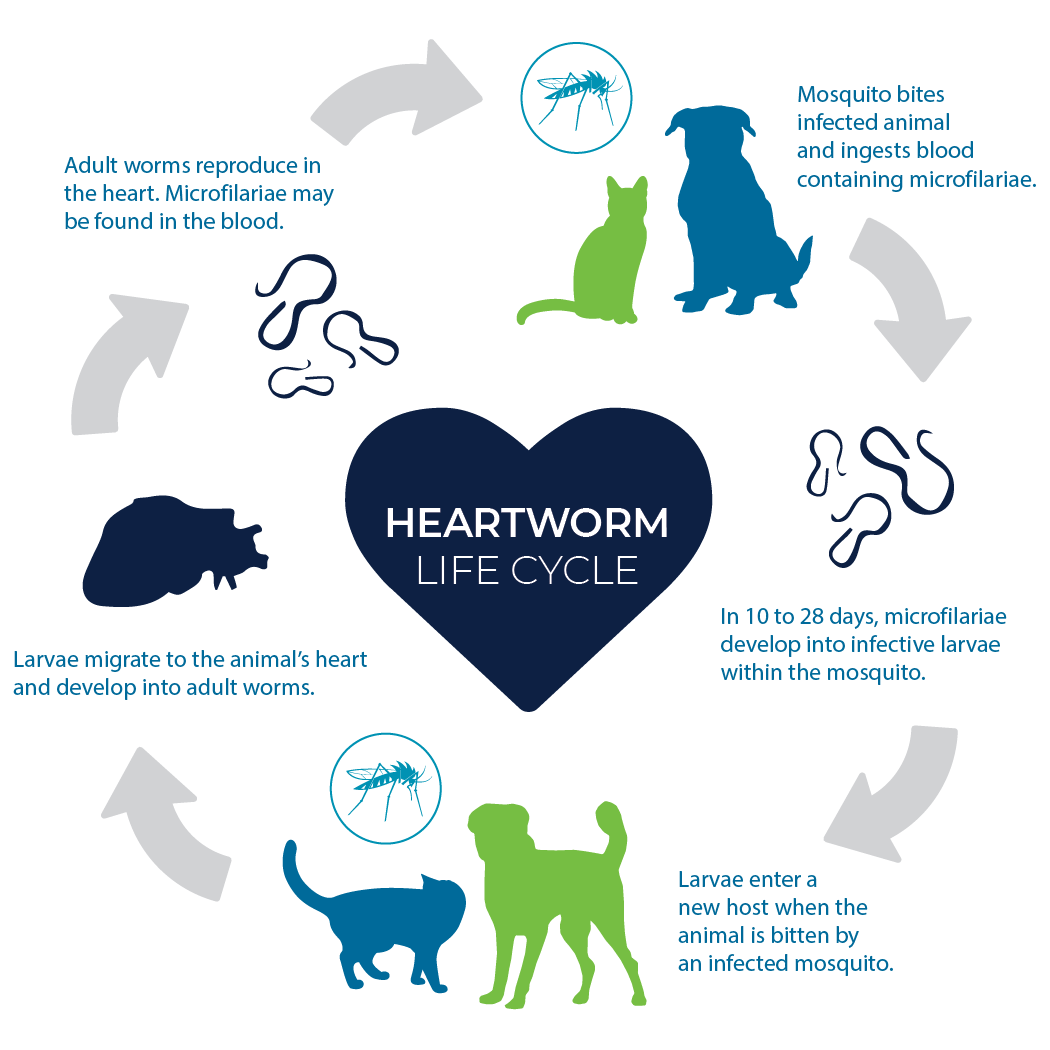 Heartworm cycle chart