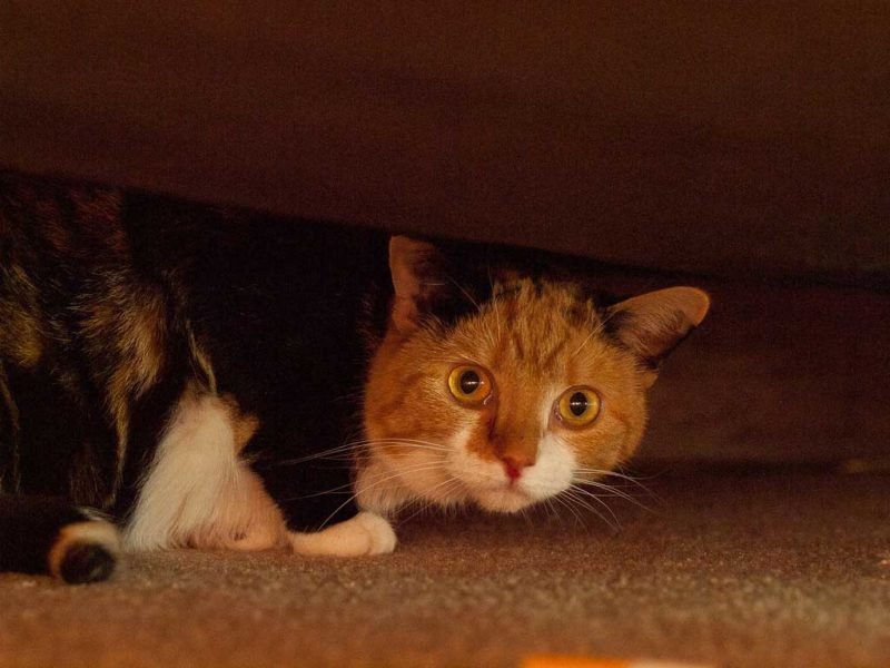 A cat looks at the camera from its hiding place under the bed.