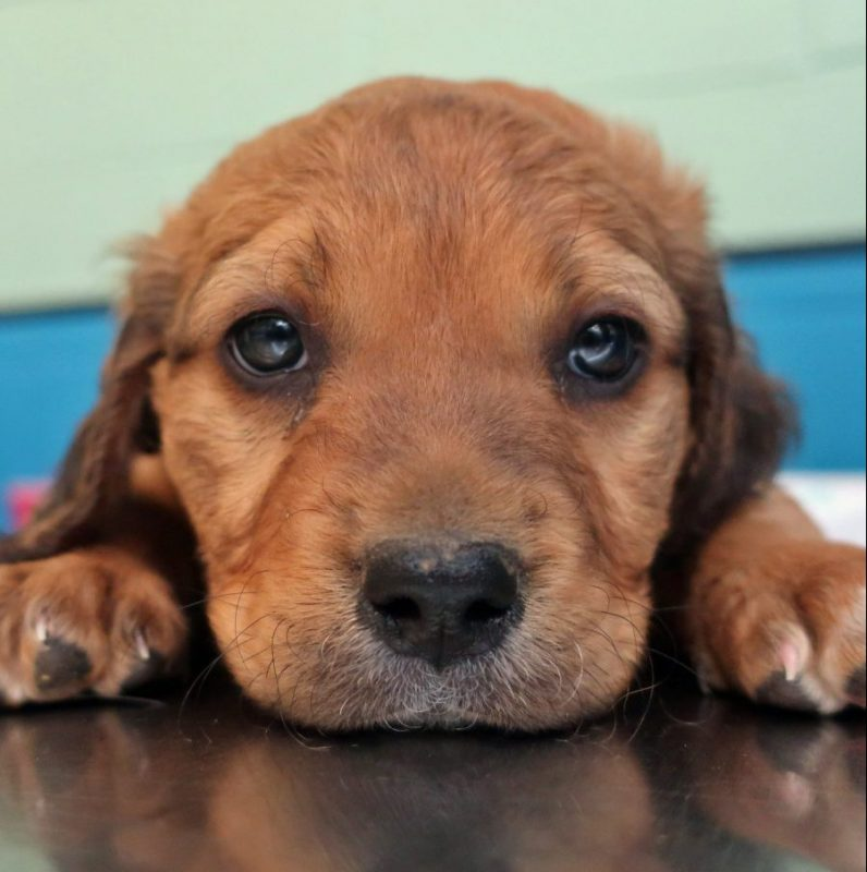 brown mixed breed puppy