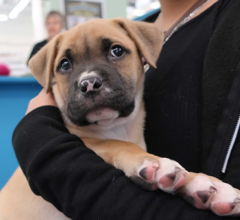 A puppy looks off into the distance while being held by their owner.
