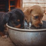 Two puppies drink water out of a bowl