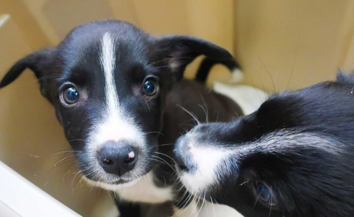 One puppy looks at the camera, while its litter mate sniffs their face.