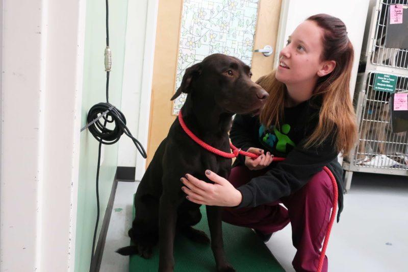 A vet teach weighs a large, brown dog.