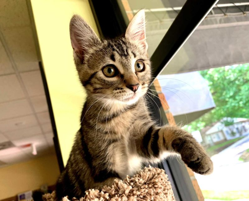 A cat sits on top of a cat tower, one paw extended.
