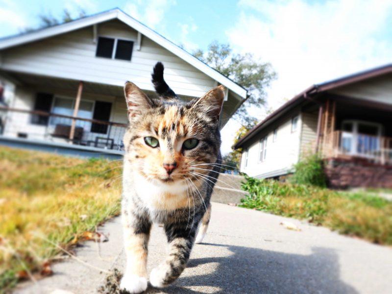 A calico cat walks toward the camera